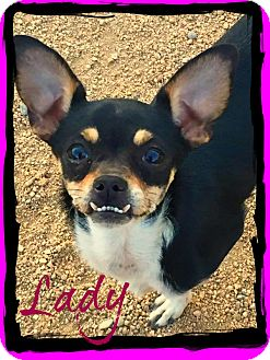 Chihuahua Dog for adoption in Phoenix, Arizona - LADY