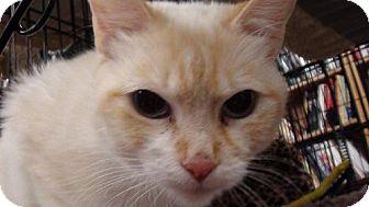 Siamese Cat for adoption in Tehachapi, California - Lola