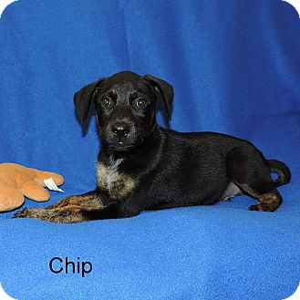 Australian Cattle Dog/Black Mouth Cur Mix Puppy for adoption in Slidell, Louisiana - Chip