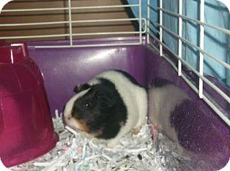Guinea Pig for adoption in Gloucester, Virginia - LAURA
