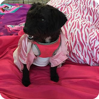Poodle (Miniature)/Chihuahua Mix Dog for adoption in Corona, California - Baby Boo Adorable Girl