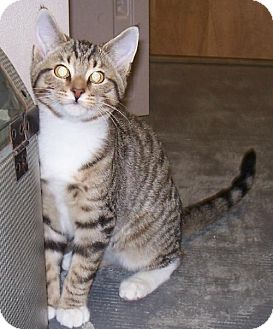 Domestic Shorthair Kitten for adoption in Island Heights, New Jersey - Pooh and Tigger