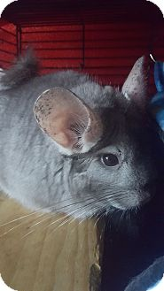 Chinchilla for adoption in Lindenhurst, New York - Freckles