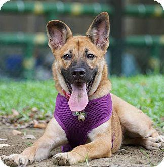 German Shepherd Dog/Canaan Dog Mix Puppy for adoption in San Francisco, California - Doreen