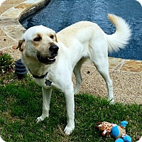 Adopt A Pet :: Duke - Coppell, TX