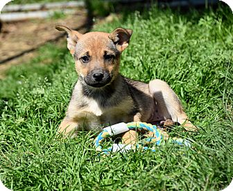 German Shepherd Dog/Shar Pei Mix Puppy for adoption in Groton, Massachusetts - Fair
