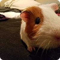 Adopt A Pet :: Ron - Harleysville, PA