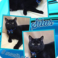 Domestic Shorthair Cat for adoption in Lexington, North Carolina - SILAS
