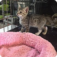 Domestic Shorthair Kitten for adoption in Alpharetta, Georgia - Stills