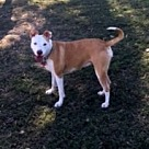 Adopt A Pet :: Ginger - Denton, TX