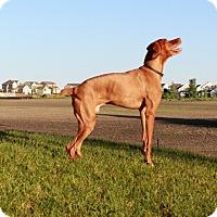 Vizsla Dog for adoption in Otsego, Minnesota - Gus