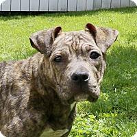 Adopt A Pet :: Amelia - Bergen County, NJ