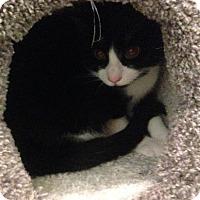Domestic Shorthair Cat for adoption in Potsdam, New York - Lewey