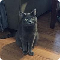 Domestic Shorthair Kitten for adoption in Marietta, Georgia - Andre