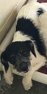Terrier (Unknown Type, Medium) Mix Puppy for adoption in Middleton, Wisconsin - Aspen