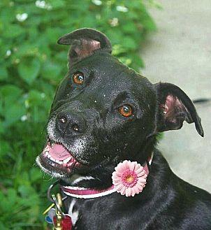 Pit Bull Terrier Mix Dog for adoption in Springfield, Missouri - Luna (SPONSORED)