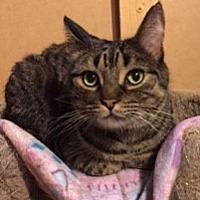 Adopt A Pet :: Fletcher (FRONT PAW DECLAWED) - Walled Lake, MI