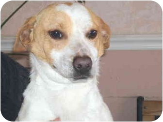 Terrier (Unknown Type, Small)/Dachshund Mix Dog for adoption in Sacramento, California - Pinto!