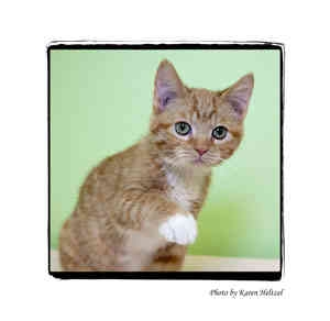 Domestic Shorthair Kitten for adoption in Warren, Pennsylvania - Jonas