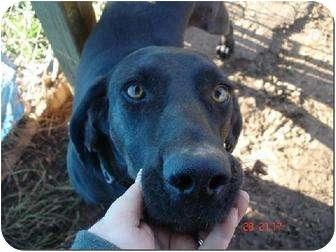 Plott Hound Mix Dog for adoption in Londonderry, New Hampshire - Jake