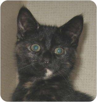 Domestic Shorthair Kitten for adoption in Hamilton, New Jersey - JOSIE
