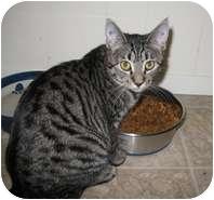 Domestic Shorthair Cat for adoption in Shelton, Washington - Delorian