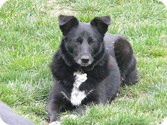 Norwegian Elkhound/Border Collie Mix Dog for adoption in Belleville, Michigan - Boots