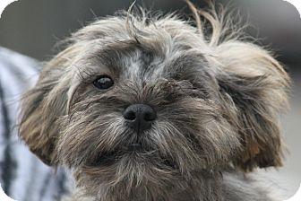 Shih Tzu Mix Puppy for adoption in McKinney, Texas - Butler