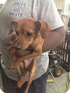 Chihuahua/Dachshund Mix Dog for adoption in Lonedell, Missouri - Dorito