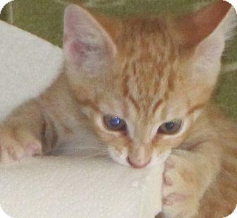 Domestic Shorthair Kitten for adoption in Charlotte, North Carolina - Reilly