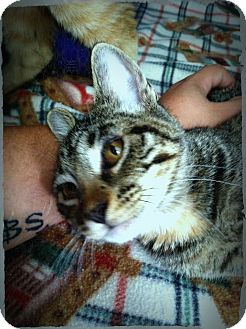 Domestic Shorthair Cat for adoption in Fort Riley, Kansas - Bonny