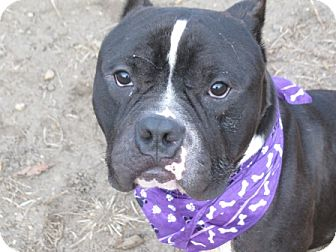 Bulldog Mix Dog for adoption in Voorhees, New Jersey - Chance