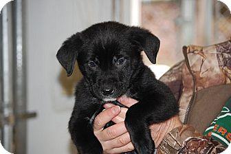 Labrador Retriever/Shepherd (Unknown Type) Mix Puppy for adoption in Hammonton, New Jersey - boomer