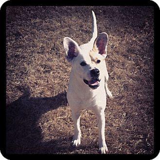 Bull Terrier/Corgi Mix Dog for adoption in Huntsville, Alabama - Jess