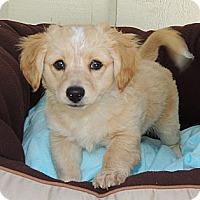 Adopt A Pet :: Wiley - La Habra Heights, CA