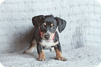 Dachshund Mix Puppy for adoption in Marietta, Georgia - Jena