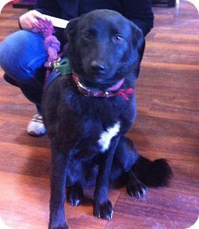 Border Collie/Labrador Retriever Mix Dog for adoption in Aldie, Virginia - Freida