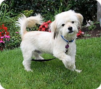 Havanese/Tibetan Terrier Mix Dog for adoption in Newport Beach, California - MARTY
