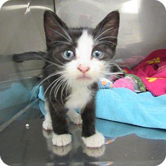Domestic Shorthair Kitten for adoption in Athens, Georgia - Abbie