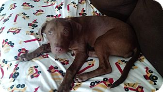 Pointer/Labrador Retriever Mix Puppy for adoption in China, Michigan - Molly