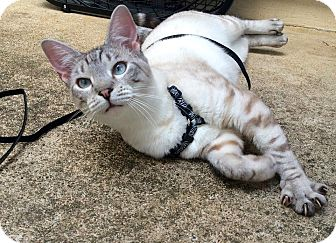 Siamese Cat for adoption in McDonough, Georgia - LeeLee