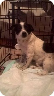 Chihuahua/Feist Mix Puppy for adoption in Charlotte, North Carolina - Wallu