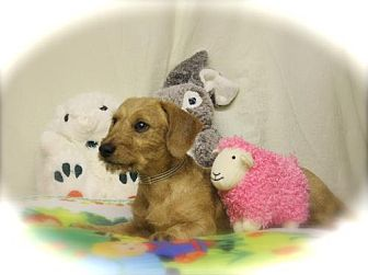 Dachshund Dog for adoption in Sparta, Illinois - RAGS
