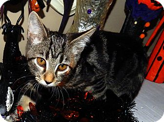 Domestic Shorthair Kitten for adoption in Chattanooga, Tennessee - Thyme
