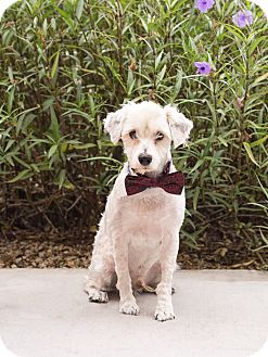 Schnauzer (Miniature) Dog for adoption in Chandler, Arizona - Mozart