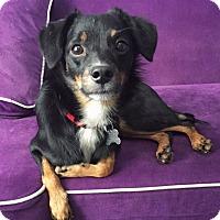 Adopt A Pet :: Shadow - San Diego, CA
