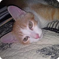 Domestic Shorthair Kitten for adoption in Schertz, Texas - Andy BC
