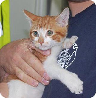 Domestic Shorthair Kitten for adoption in Brooklyn, New York - Turkey