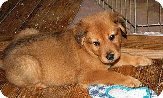 Shepherd (Unknown Type)/Labrador Retriever Mix Puppy for adoption in Hayes, Virginia - Hal