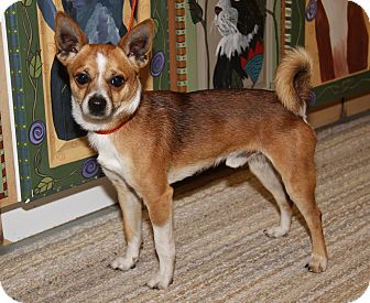 Chihuahua Mix Dog for adoption in Marietta, Ohio - Cisco Kid